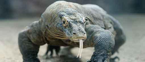 Komodo Dragon, Palmitos Park